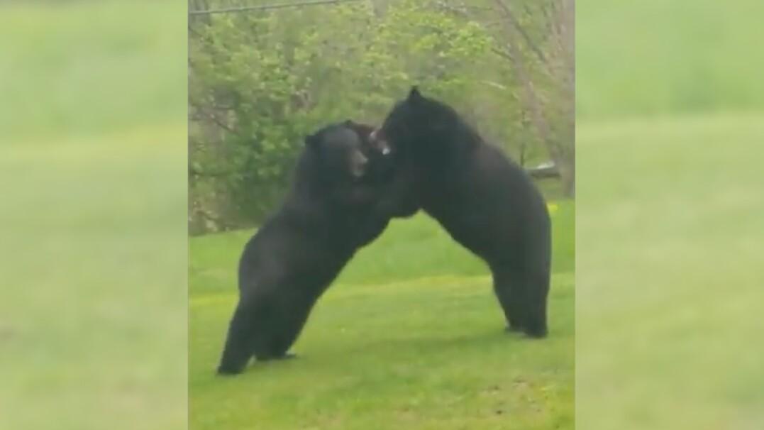 Walka dwóch niedźwiedzi w ogródku. Mieszkaniec był w szoku