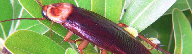 Milion karaluchów zbiegło z hodowli
