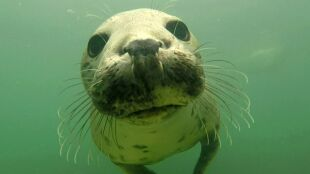 Foki klaszczące pod wodą. Słyszał je od lat, w końcu udało się nagrać
