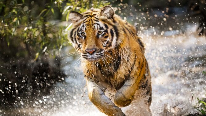 """Poświęcili całe swoje życie, by ratować wielkie koty. """"Ziemia tygrysów"""" dzisiaj na Discovery Channel"""