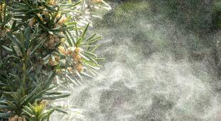 Alergicy powinni przygotowac się na pylenie traw i dębów