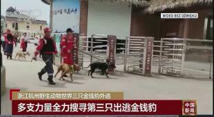 Trwają poszukiwania lamparta w chińskim mieście
