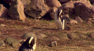 Skomplikowane relacje pingwinów